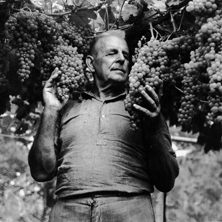 Bartul Soljans holding grapes on a vine.