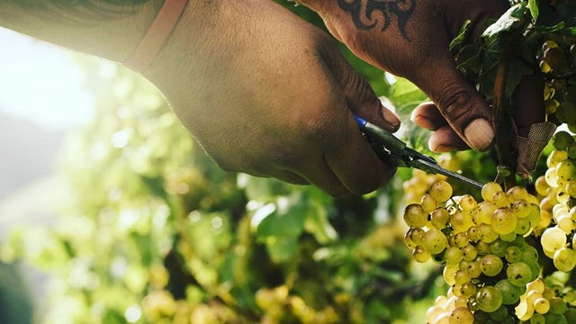 some cutting grapes of a vine