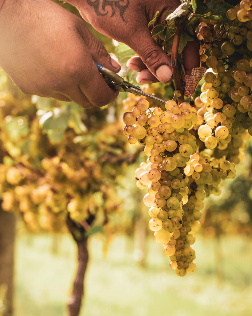 close up of person cutting a bunch of chardonnay grapes off a vine