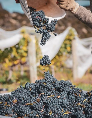 Bunches of pinot noir groups being poured onto a pile of grapes.