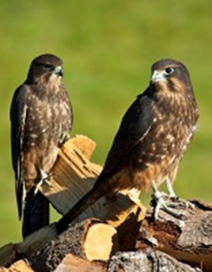 Two New Zealand Falcons perched on firewood.
