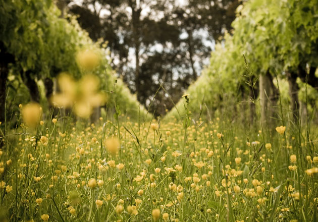 Flowers lining the vines at Milton Vineyards