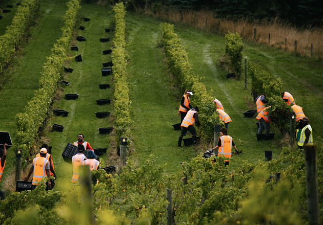 Workers between the vines at Misty Cove.