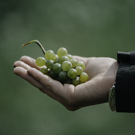 A hand holding a bunch of grapes