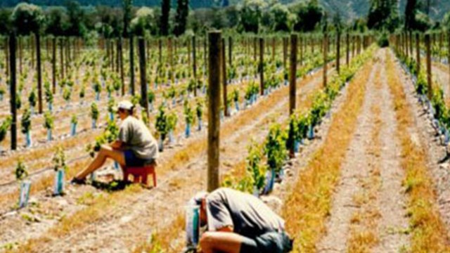 People shoot thinning at Hans Herzog vineyard in 1998