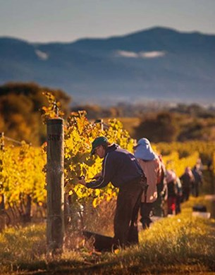 People working in Autumn vines