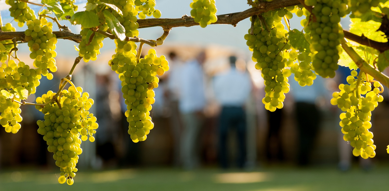 Chardonnay new zealand wine for New pictures