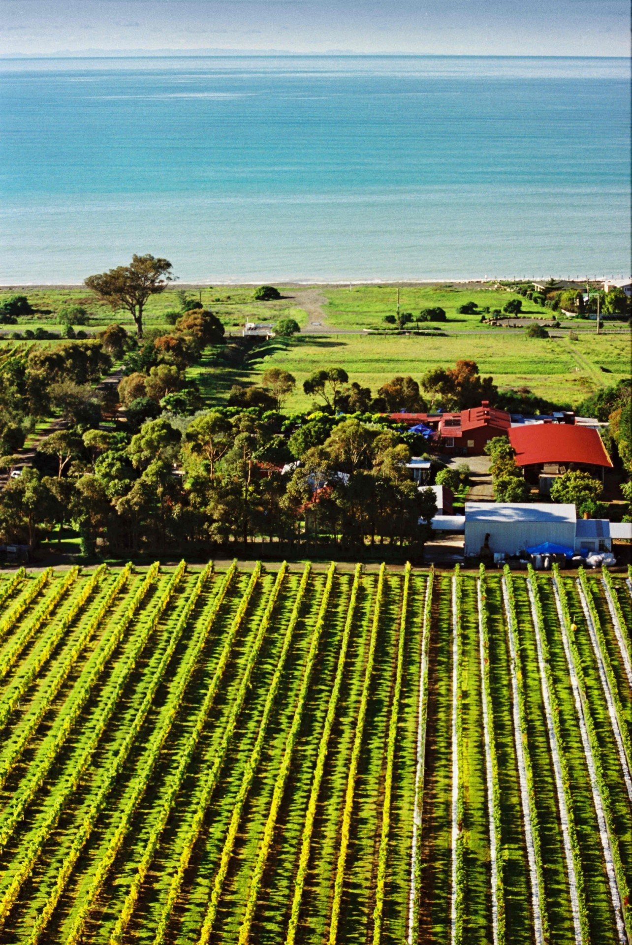 Clearview Estate winery, vines near the ocean
