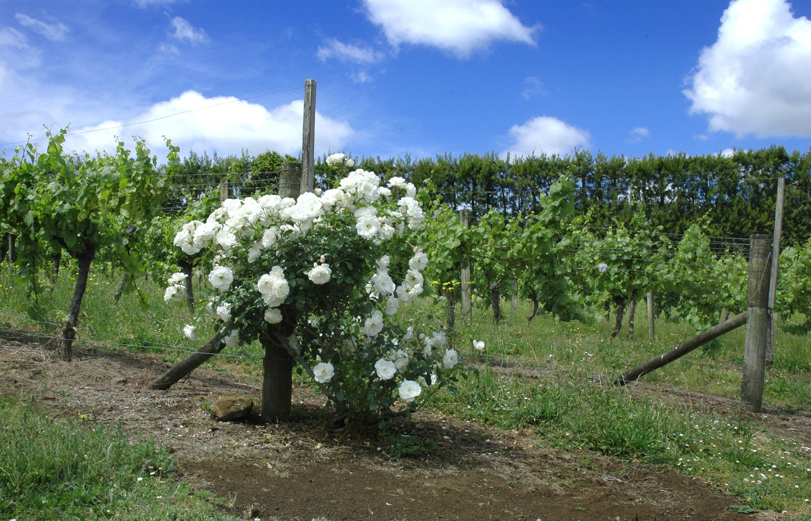 Northand Wine, white flowers next to the vines