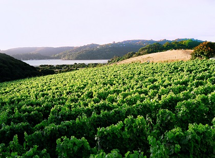 Destiny Bay Wines Vineyard shot