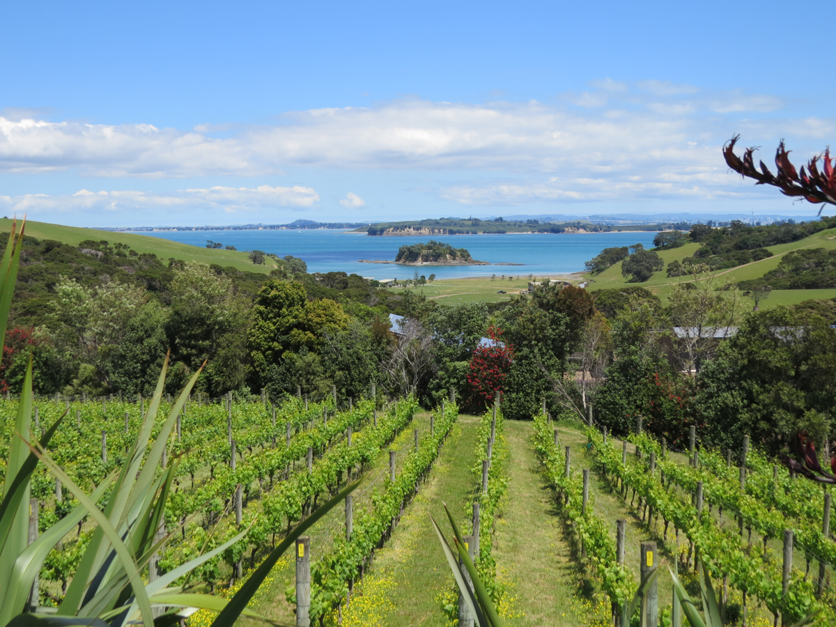 Vines with the sea in the background at Cable Bay Vineyard, Auckland.