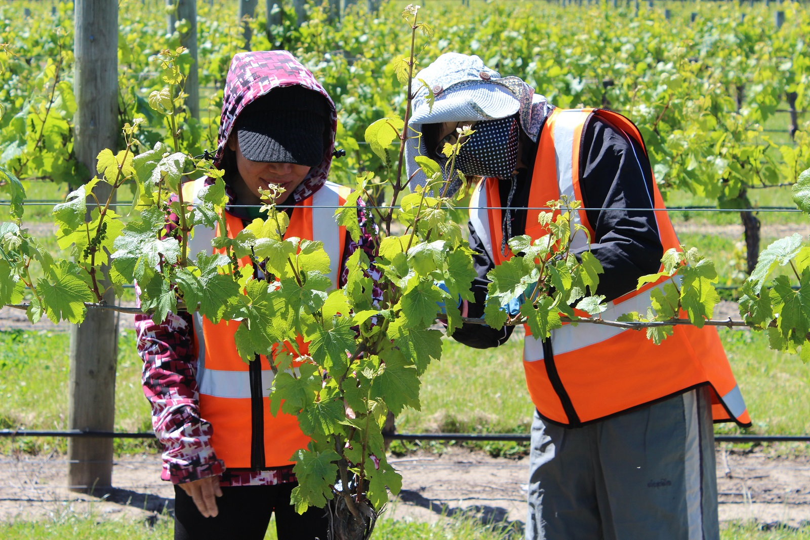 RSE workers thinning vines.