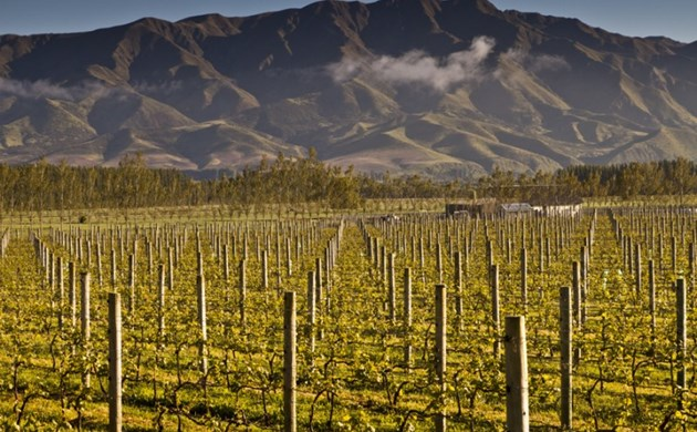 Vines without leaves at Waitaki Valley Vineyard, North Otago.